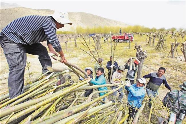 图为山南市扎囊县群众在雅江北岸开展植树造林活动。