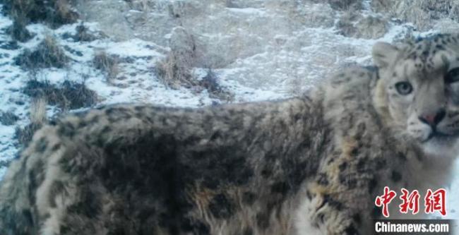 青海茫崖近距离拍到野生雪豹清晰影像