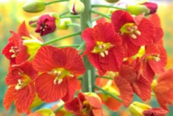 江西农大培育出45种颜色油菜花